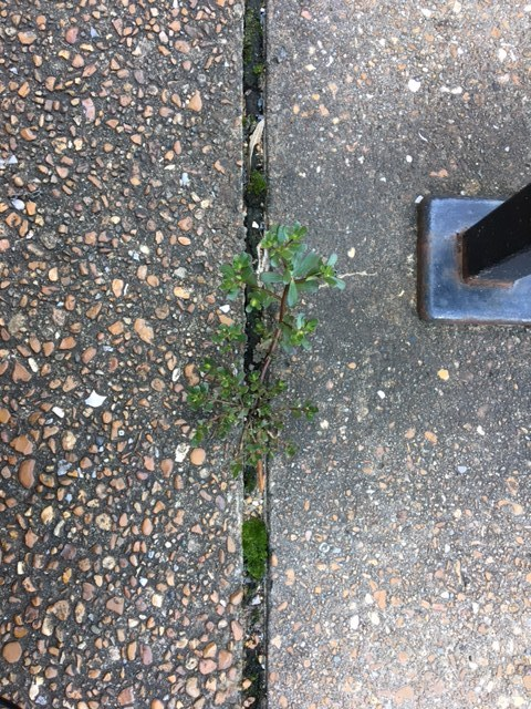 [Image: a succulent green purslane grows in a crack between two pieces of pavement on the Vanderbilt campus. Alongside it are a mossy patch, wood chips, and some rocks.