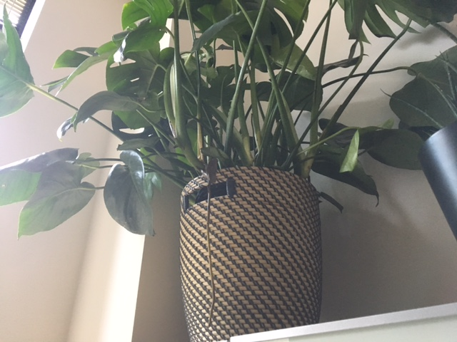 [Image description: a large green plant in a wicker planter sits atop a shelf, taking in sunlight. One tendril of root hangs off of the side.]