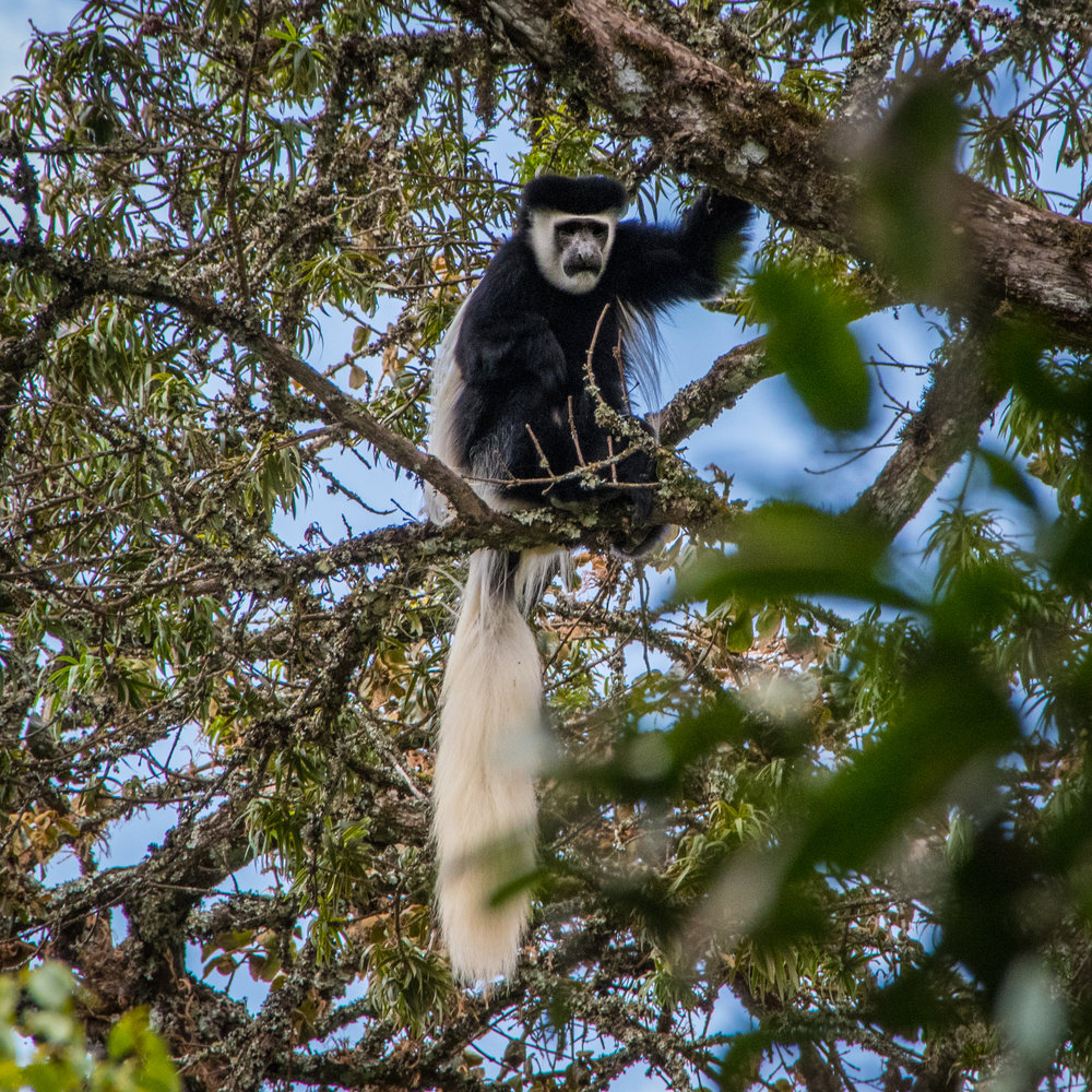 Black and White Colobus Monkey in the Jungle Zone