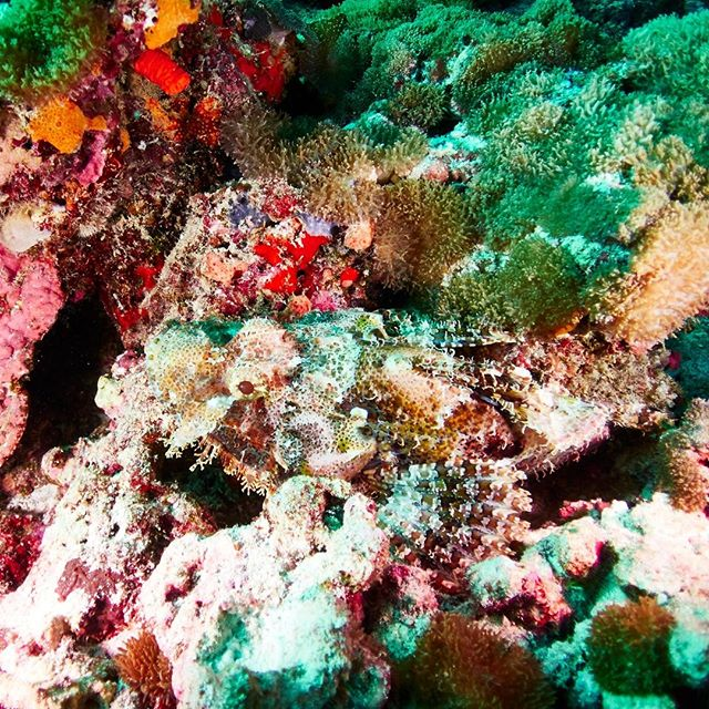 Can you spot the 🐙hiding in the coral garden?  #DriftRetreat #Scuba @drift_retreat_diving