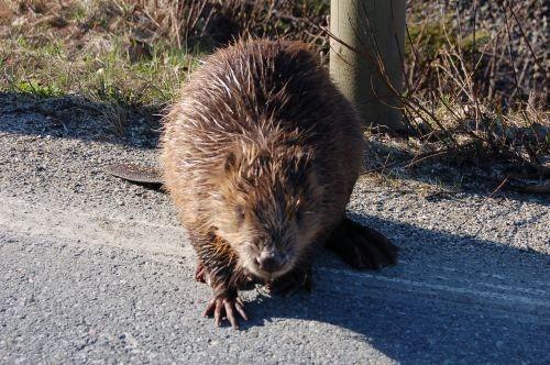 Beveren sprer seg til stadig nye områder.Denne levde farlig da den brukte riksveien ved Gilset på sin vandring nordover.