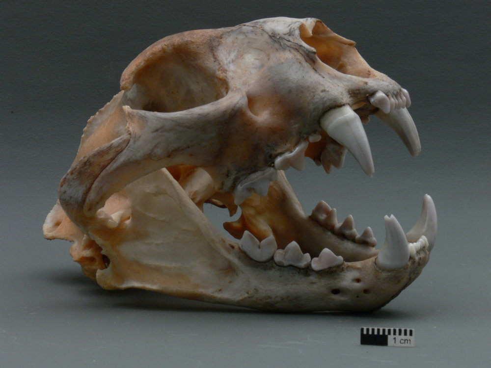 Skull of a Mountain Lion. Notice the wide zygomatic arch beneath the orbits.