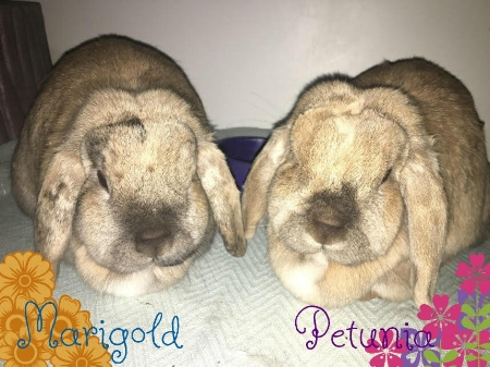 Marigold & Petunia** We have been adopted! - updated 06/05/2018These 4 year old, spayed lop bunnies are looking for a new home.  These girls lived the first part of their lives as outdoor bunnies in a large hutch with lots of room to run around and many structures to play on.  The hutch is available for anyone who would like it until July.  They would also do well as indoor pets as long as they have a large enclosure/area and are allowed out of cage time.  They have been using their litter boxes quite well.  Petunia came to us with an unresolving corneal ulcer resulting in an enucleation.   They are both healthy girls otherwise & are looking for a second chance!Bunnies are not great starter pets for children and require a lot of work, attention, regular vet visits and a special diet.  Please call us if you are interested and we can set up an appointment.  *must go together