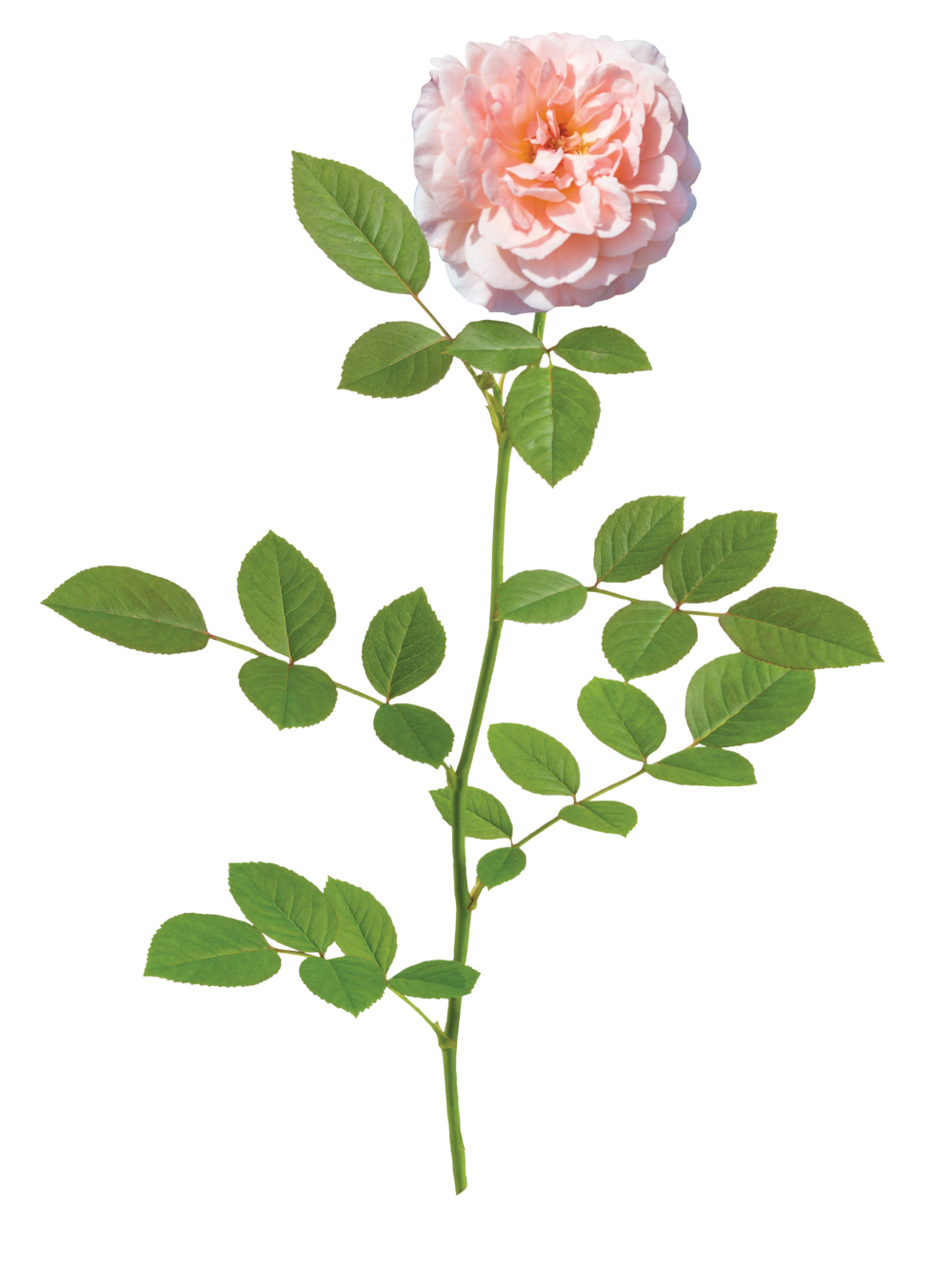 the Apricot Drift® rose - 'Meimirrote' PP 23,354The Apricot Drift® Rose exhibits a true groundcover habit. Double apricot colored flowers begin in spring and display a season-long show of color. It is just as tough and disease resistant as others in the Drift® series. It is best suited for small gardens or along paths and walkways.Zones: 4–11   |   Exposure: Full sun   |   Habit: 1½h x 2½'w