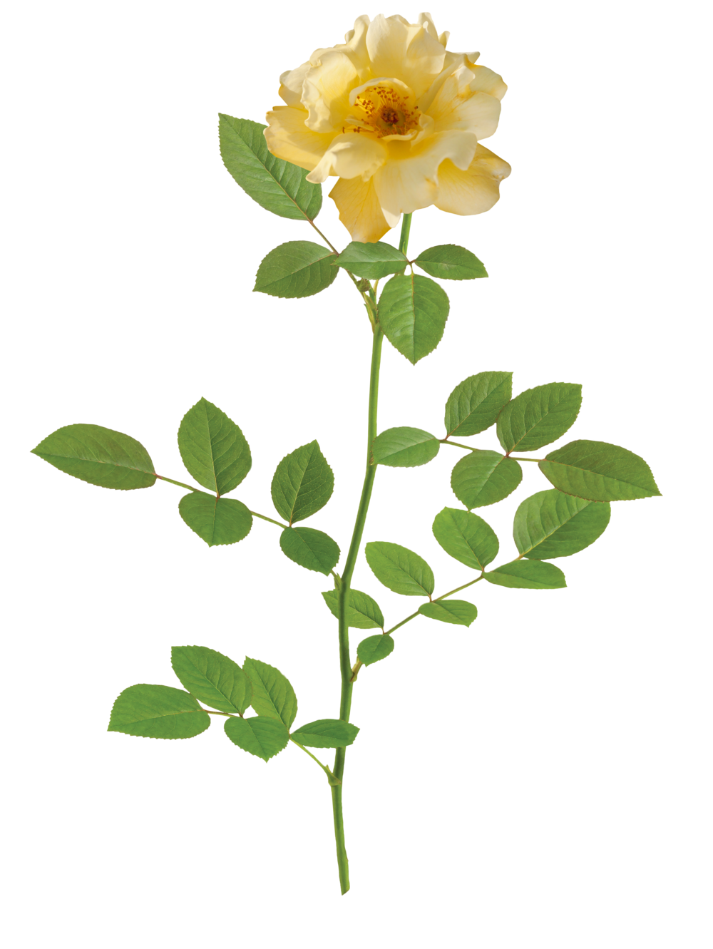 the Lemon Drift® rose - 'Meisentmil' PP 20,635The Lemon Drift® Rose is the newest addition to the Drift® series. It is a perfect yellow groundcover rose. This rose has a very bushy, compact, and rounded habit. It is only available for sales in the West.Zones: 4–11   |   Exposure: Full sun   |   Habit: 1½' h x 2' w
