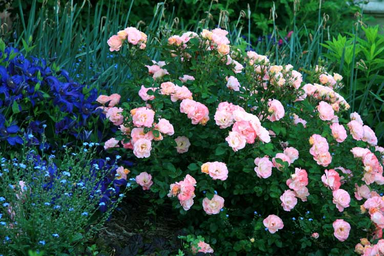 bb052c75a the Collection — Drift® Roses