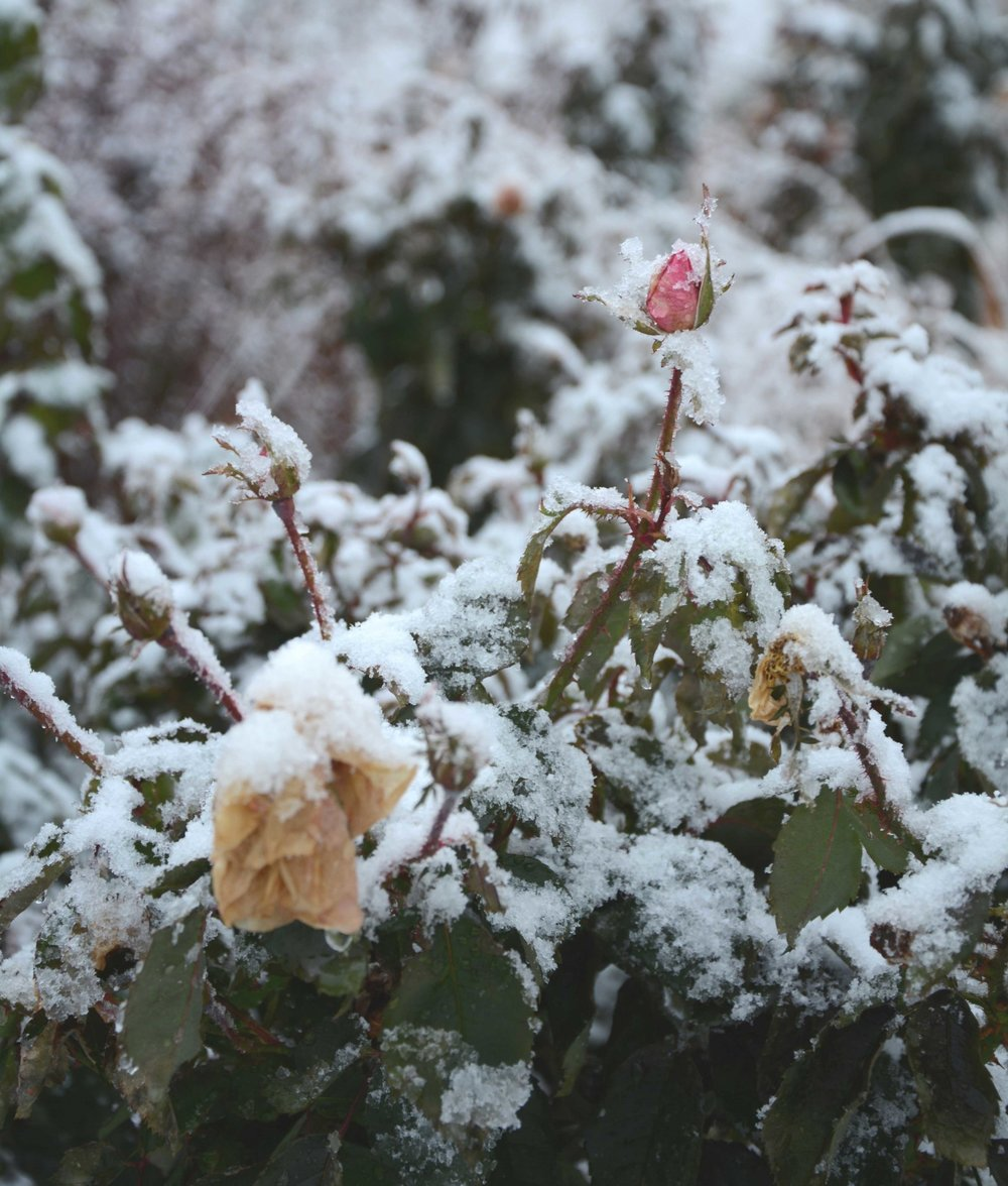roses_in_winter.jpg