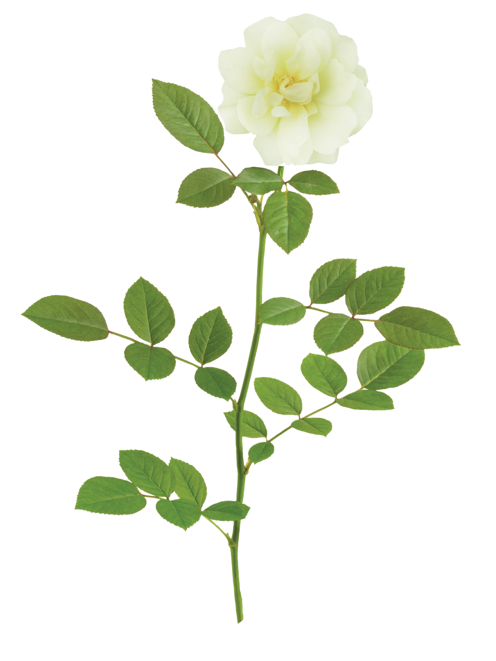 The Popcorn Drift® Rose - 'Novarospop' PP 24,773Popcorn Drift® has soft buttery yellow blooms that fade to a creamy white. This continuous bloomer flowers all season and pairs effortlessly with other plants.Zones: 4–11  |   Exposure: Full sun   |   Habit: 1½'h x 2'w