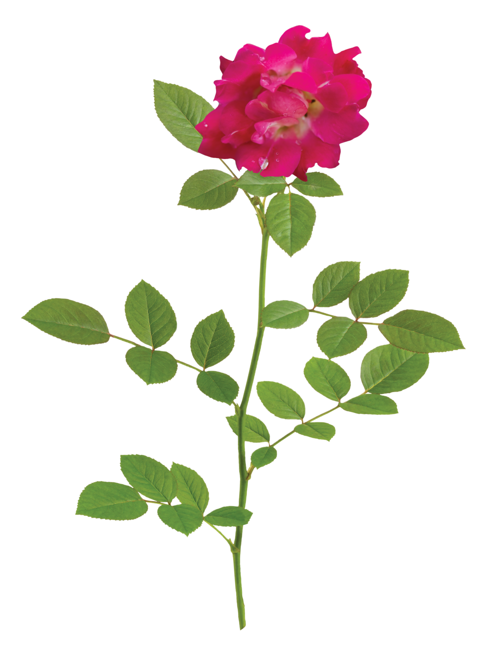 The Red Drift® Rose - 'Meigalpio' PP 17,877The easy nature and natural beauty of Red Drift® lends to the success of this rose. The petite red flowers prove to be an elegant addition to any garden, especially when able to naturally drape over a rock wall or edge.Zones: 4–11   |   Exposure: Full sun  |   Habit: 1½'h x 2½'w