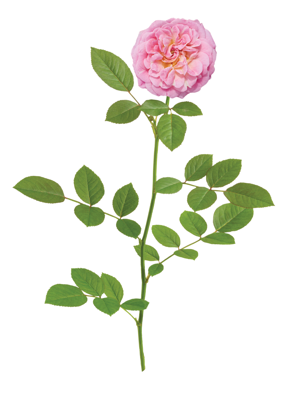 The Sweet Drift® Rose - 'Meiswetdom' PP 21,612Sweet Drift® forms full clusters of sweet pink blooms from mid-spring to the first hard freeze of late fall. No cottage garden is complete without the charming romance of Sweet Drift.®Zones: 4–11   |   Exposure: Full sun   |   Habit: 1½'h x 2½'w