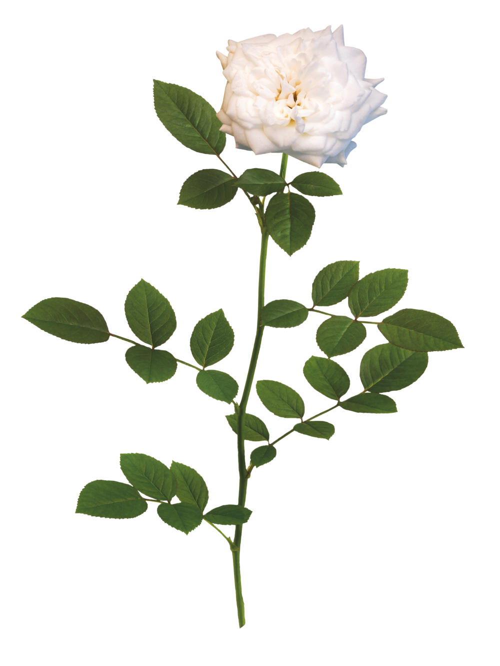 The White Drift® Rose - 'Meizorland' PPAFWhite Drift® has pure white, fully double flowers that are perfectly shaped like miniature roses. These impressive white blooms will brighten gardens of all shapes and styles.Zones: 4–11   |   Exposure: Full sun   |   Habit: 1½'h x 3'w