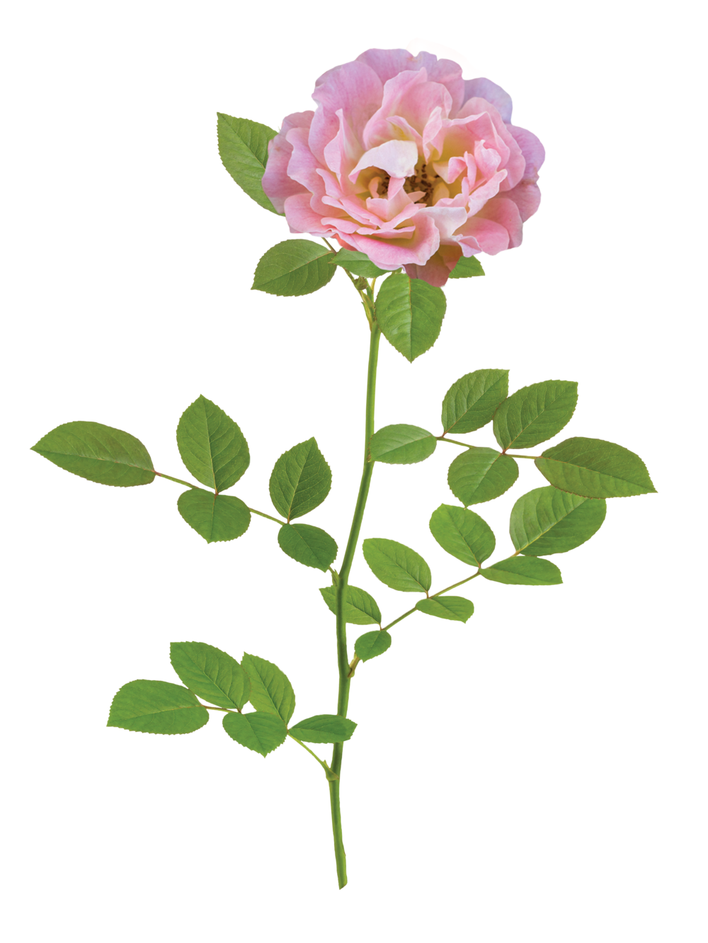 the Peach Drift® rose - 'Meiggili' PP 18,542The Peach Drift® Rose is one of the most floriferous dwarf shrubs available. Soft peach blooms cover the plant from mid-spring to the first hard freeze of late fall. Peach Drift® Rose pairs well with existing perennials in any landscape. The mature plant is approximately 2' by 1½' and exhibits strong disease resistance. Zones: 4–11   |   Exposure: Full sun   |   Habit: 1½' h x 3' w