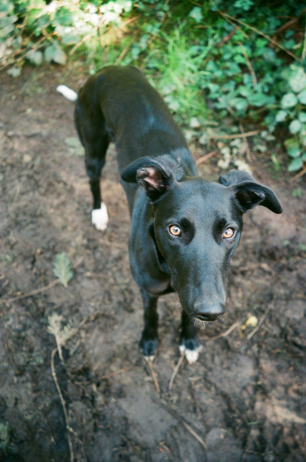 Ivy the Lurcher .JPG