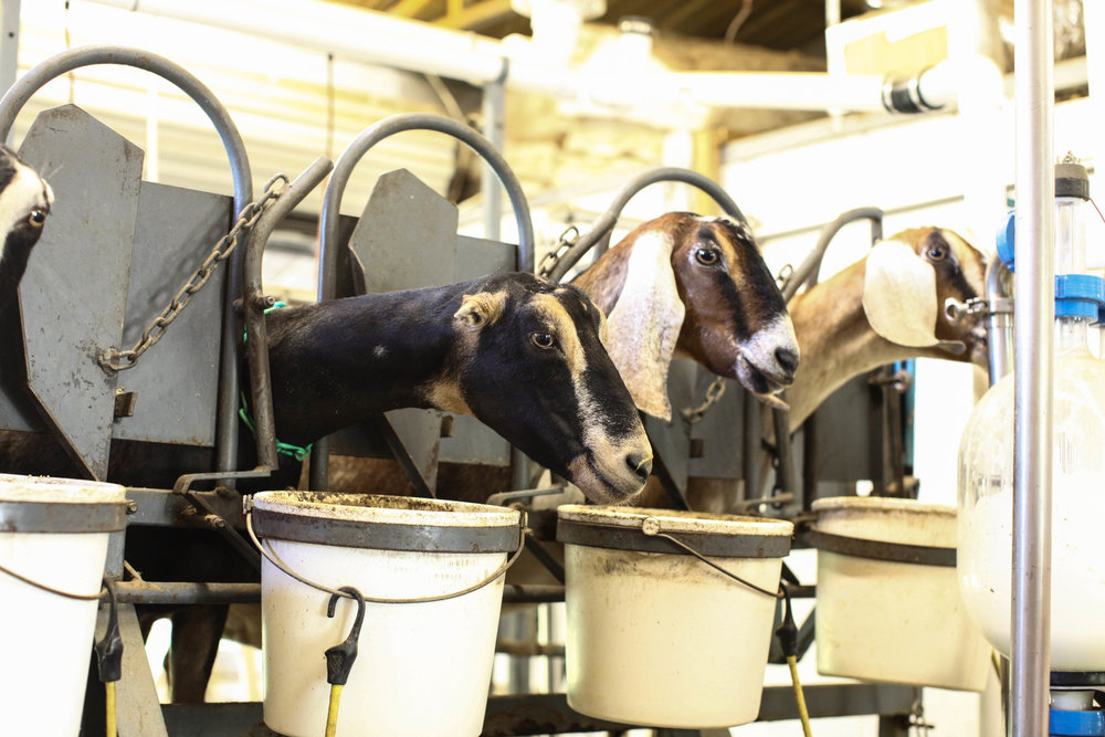 goats-4.jpeg