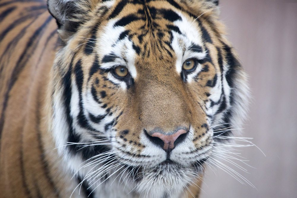 20160115_tiger_close-ups-Nikolai013_CB.jpg