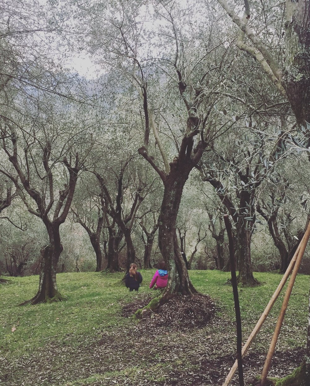 WINTER IN THE OLIVE GROVE.