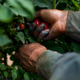 Fighting for Farm Workers at Our Dinner Table - The movie Food Chains should dramatically raise our collective consciousness - and conscience - about how our food is produced. We need to establish a