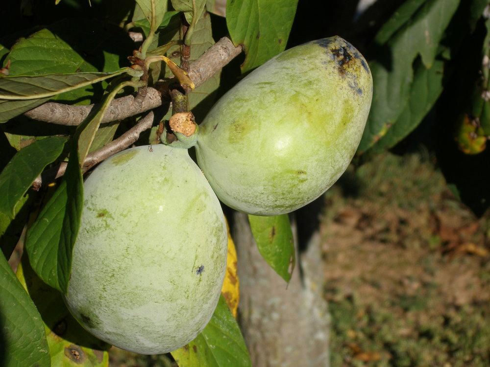 Wabash fruit.JPG