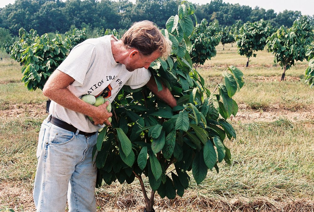 """Jim Davis picking pawpaws"""