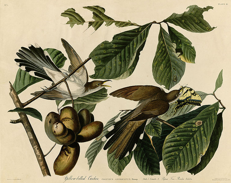 """Yellow-billed Cuckoo (by John James Audubon)"""