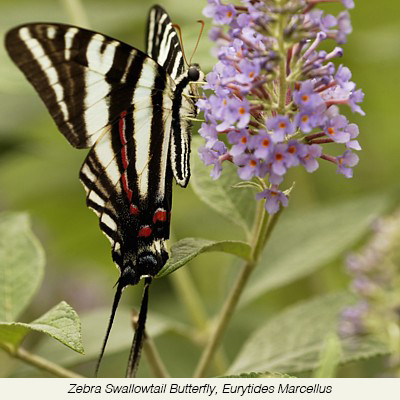 Zebra+Swallowtail+butterly-Eurytides+marcellus.jpg