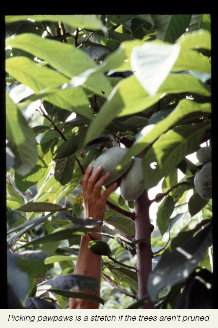 Picking+pawpaws+is+a+stretch+if+the+trees+aren't+pruned.jpg