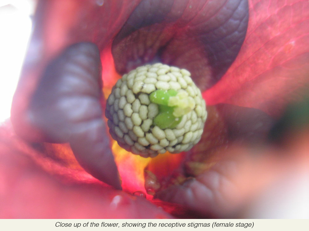 Close+up+of+the+flower,+showing+the+receptive+stigmas+(female+stage).jpg