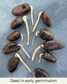 Germinated+PP+Seeds.jpg