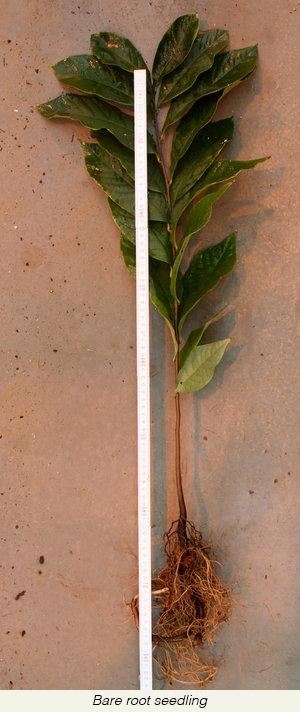 seedling+bareroot+height+-+by+Marko+Viher+of+Slovenia.jpg