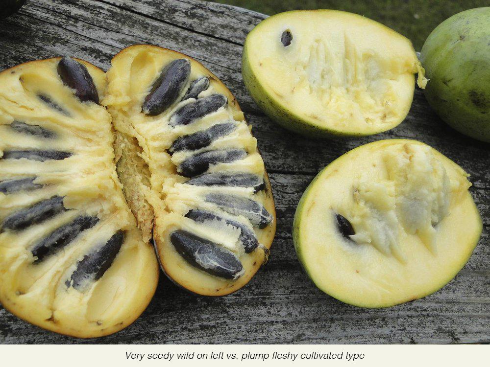 Wild+seedy+less+flesh++(left)+vs+Culvivated+more+flesh+less+seeds+(right)+(1).jpg