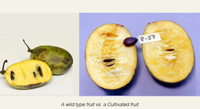 wild+fruit+(left)+vs+Neal+fruit+(right).jpg