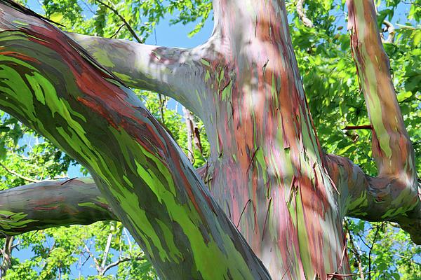 rainbow-eucalyptus-09.jpg