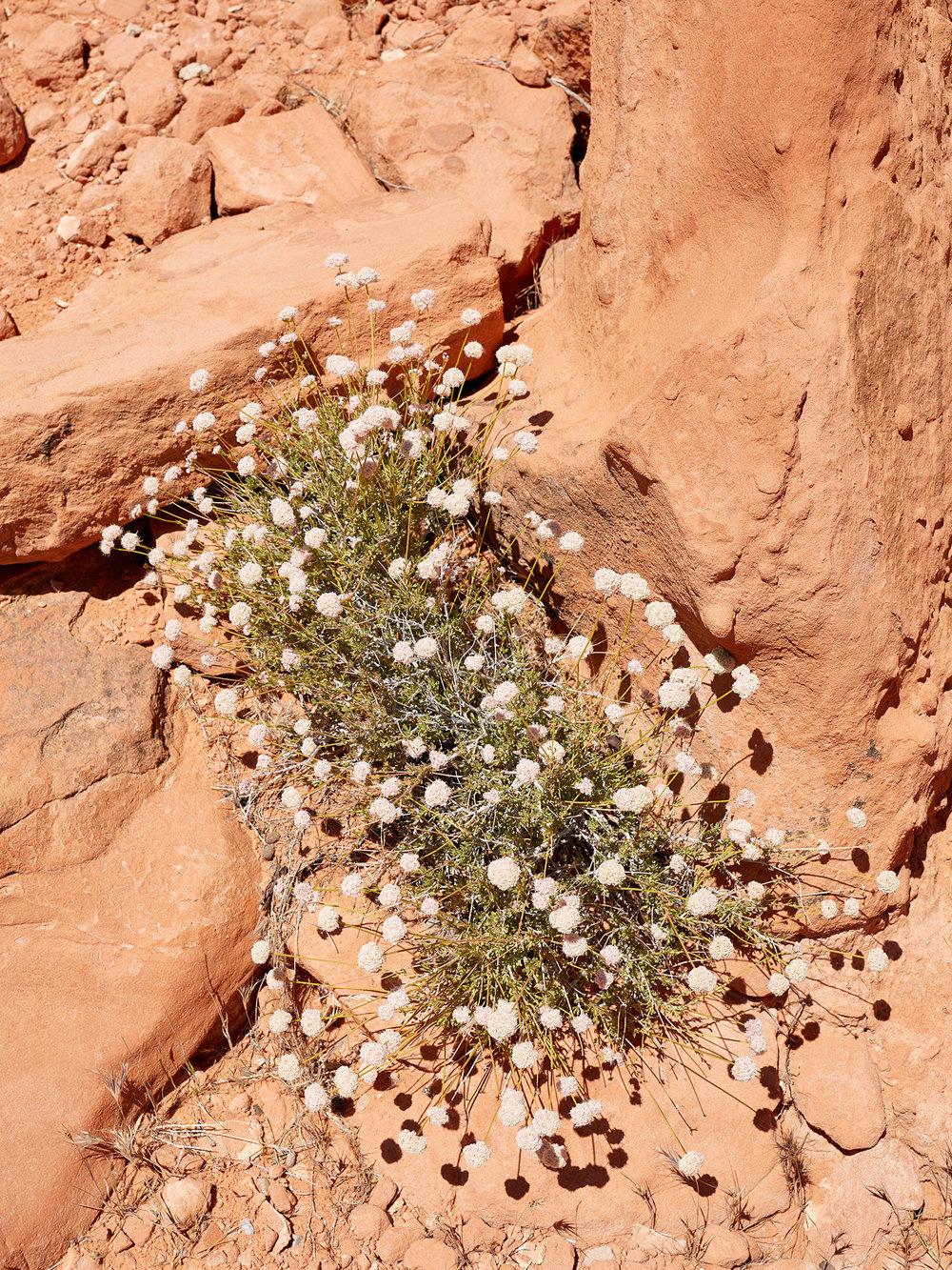 A caterpillar-like Eastern Mojave Buckwheat.
