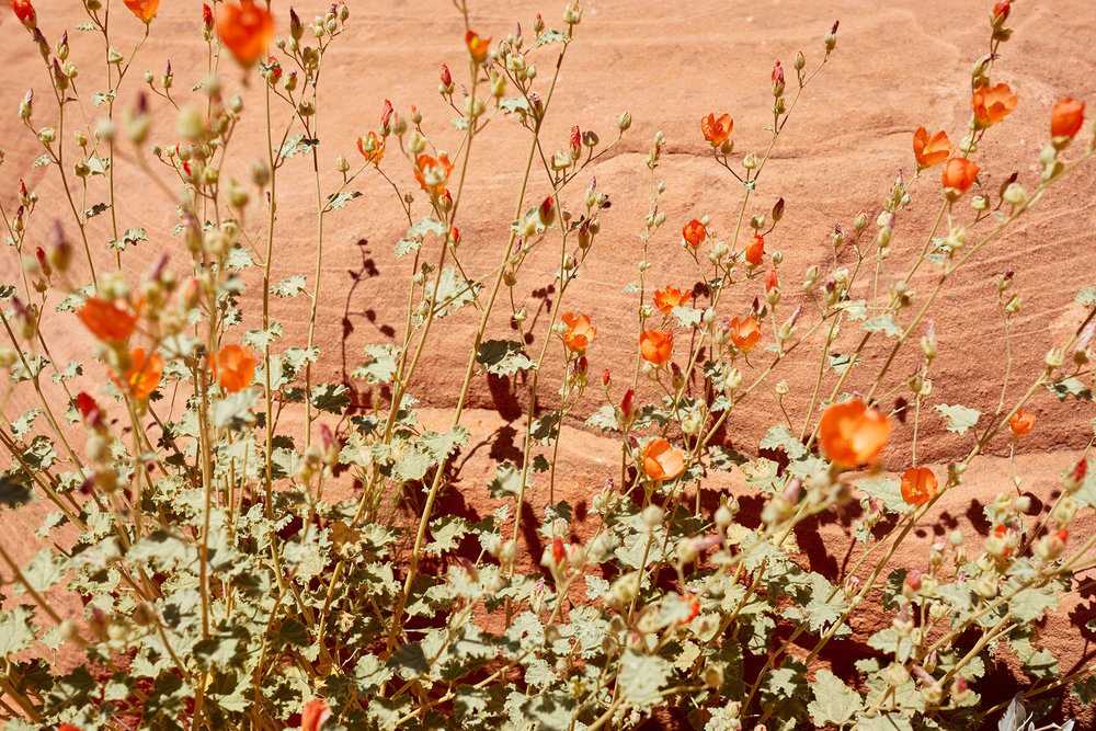 The fiery bloom of an Apricot Globe Mallow.