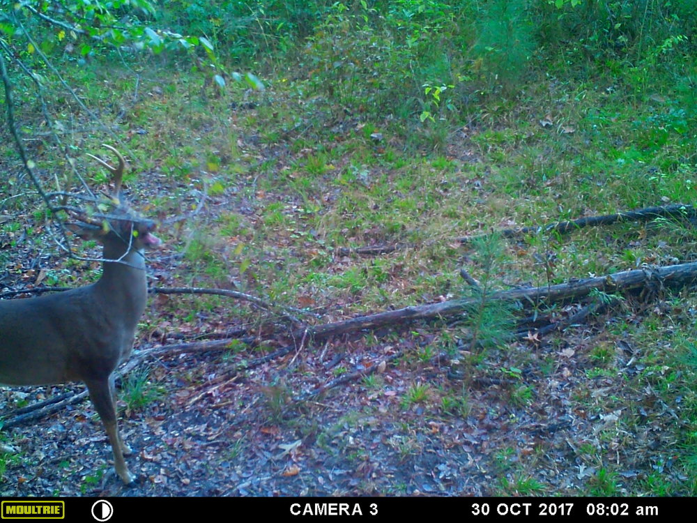 A decent Alabama buck working a scrape in daylight on public land. The peak of the rut does not happen in this deer's home range until late January.