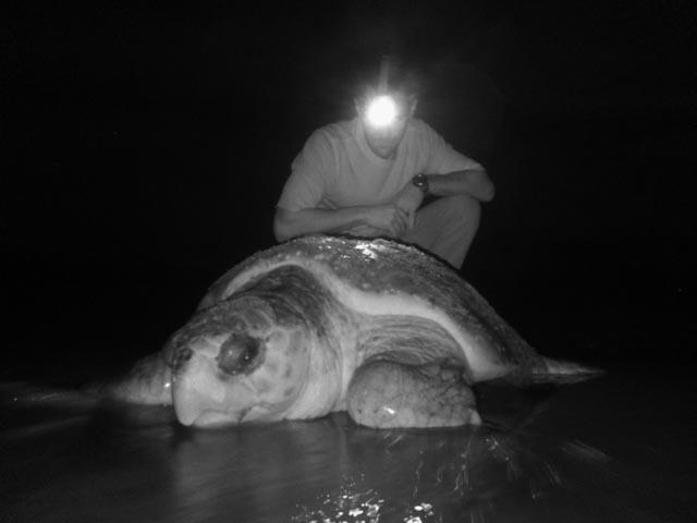 Joe Pfaller studying epibiota on nesting loggerhead sea turtle shell. Image taken by Mallory Lindsay using IR camera.
