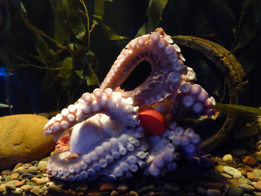 Octopus from Ripley's Aquarium retrieving a treat hidden in an enrichment container. Image provided by Wikipedia Commons