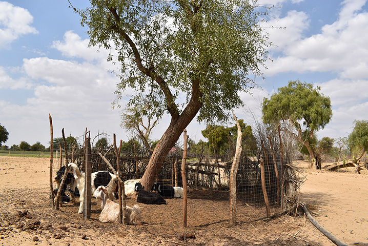 Livestock is an important livelihood for cumin farmers and complements the production of cumin. The goat's dung provides organic material to the sandy soil. Both activities are the main source of income for farmers in the Barmer district, in Rajasthan.