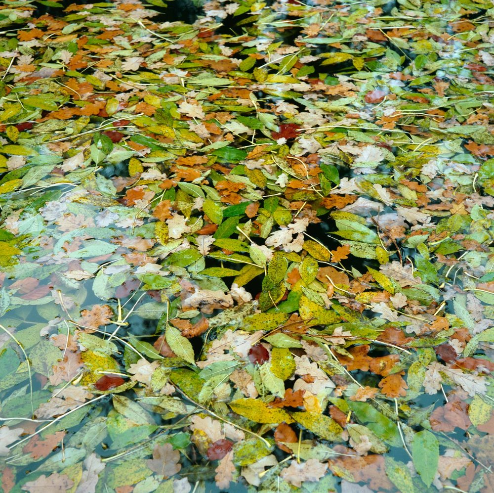 Waterleaves