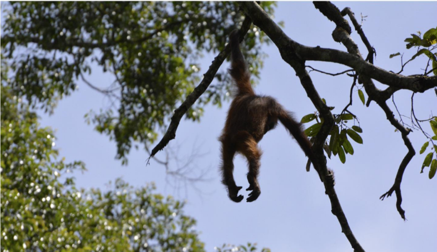 The oldest of the orangutans stranded in a durian tree.