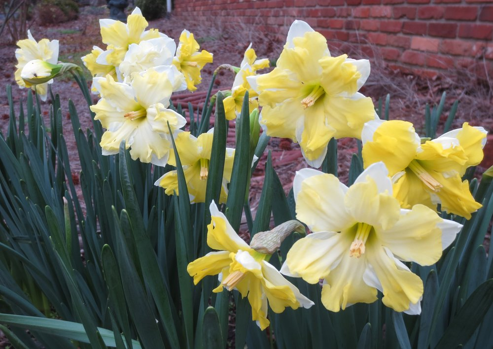 Daffodils Feb2018.JPG