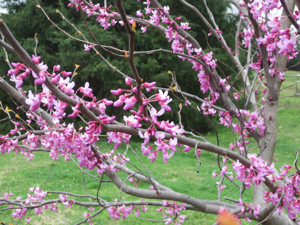The Rising Sun redbud, starting to show apricot leaves emerging