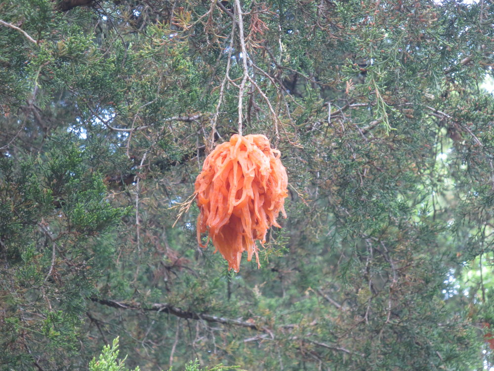 Cedar-apple rust in Mary Snoddy tree.JPG