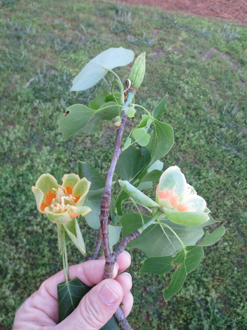 Flower of a Tulip Poplar