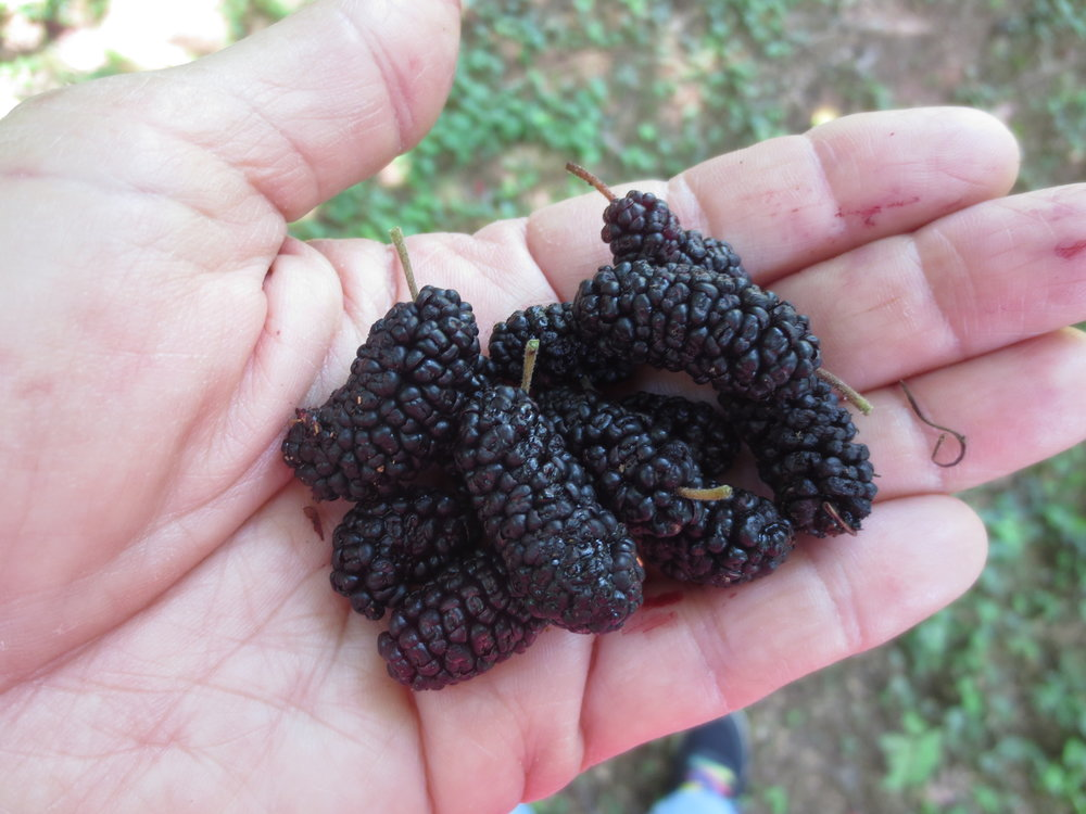 Ripe mulberries.JPG