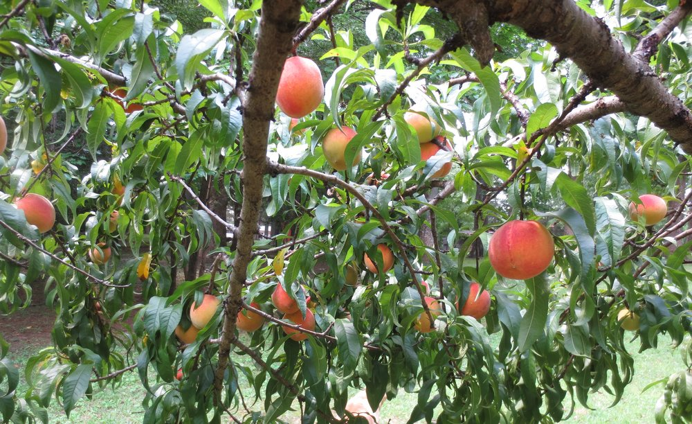Peaches at New Hope Farm