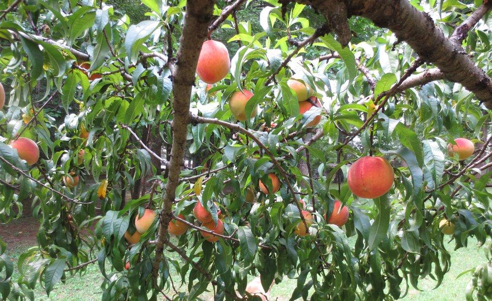 Peaches at New Hope Farm