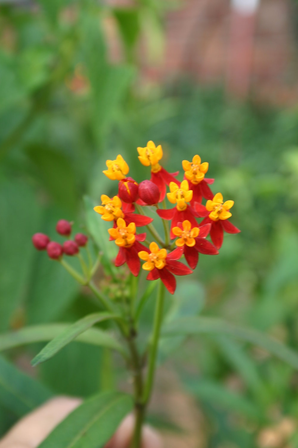 Annual Butterfly weed.JPG