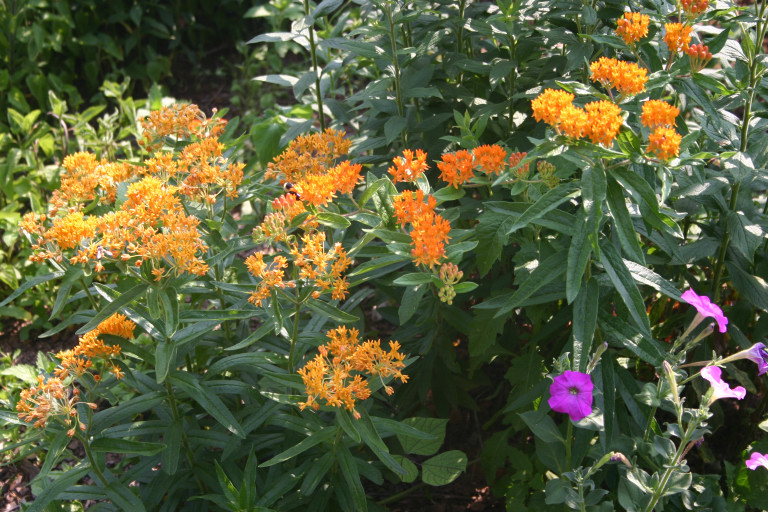 Perennial Butterfly weed.jpg