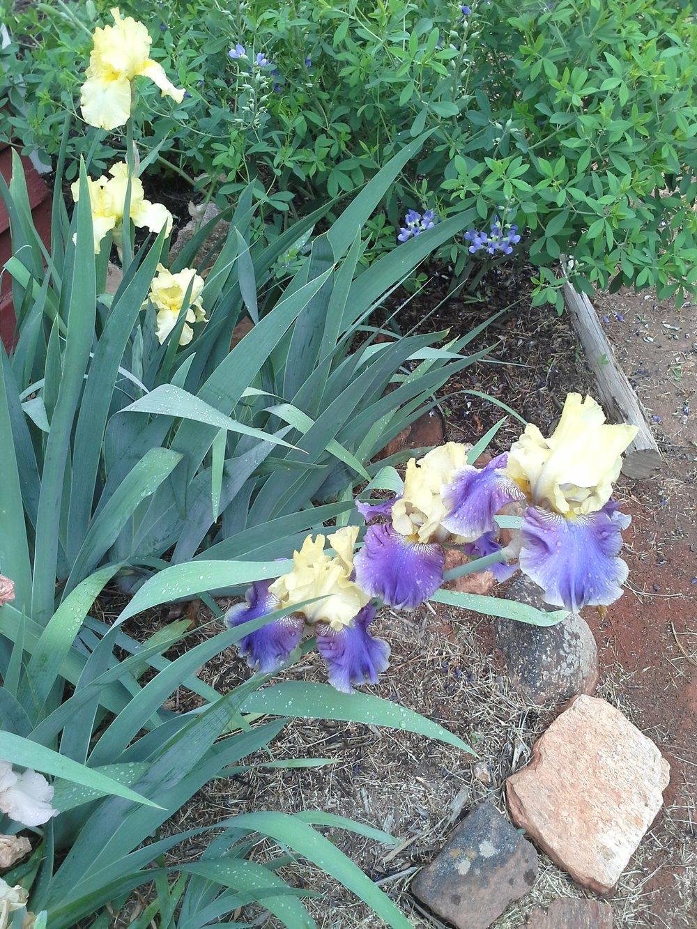 Iris Yellow Purple.jpg